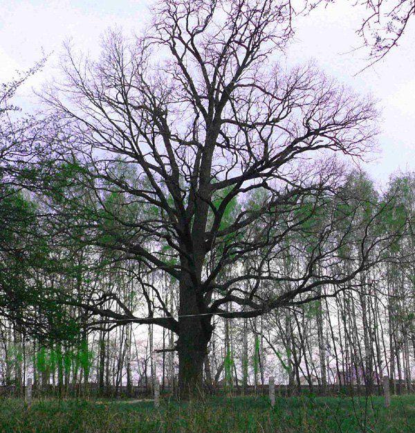 Найгарніший дуб Чубинського за підозрілим парканчиком