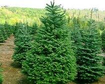 Украинцы активно раскупают живые елки Ef5b1c95c065