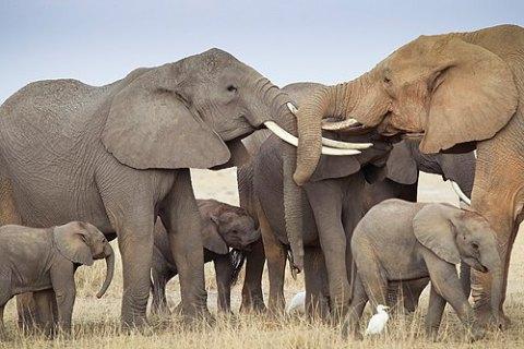 ВАфрике за10 лет популяция слонов сократилась на111 тыс. особей