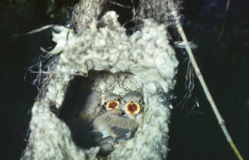 Виктор Пасмор продолжает удивлять нас сїемками птиц: И опять синицы. Гнездо ремеза. Выглядит как валенок, прикреплённый к свисающим над водой веткам.