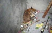 В подвале киевской многоэтажки нашли лису