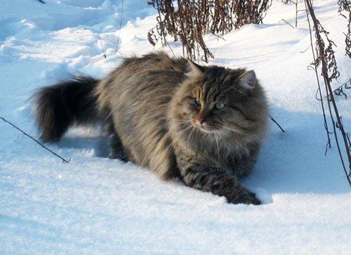 Читатель Виктор Пасмор прислал фото своего кота Гоши:<i>Это наш кот. Наглый, зажравшийся. Морда наглей, чем у некоторых наших вождей</i>