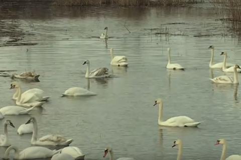 ВЧерновицкой области впруду отыскали неменее 20 мертвых лебедей
