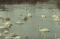 На озере в Черновицкой области погибли более 20 лебедей