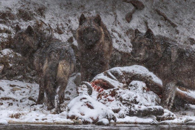 Волчица и ее потомство устроили банкет возле туши бизона, утонувшего в реке в парке Йеллоустоун, США.
