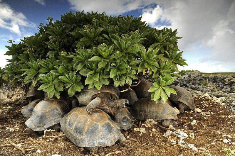 Черепахи соревнуются за место в тени, Сейшельские острова.
