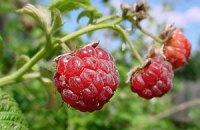 Властям покупают малину по 672 грн за килограмм