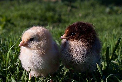 Фото цыплят нам прислал Максим Кисилев