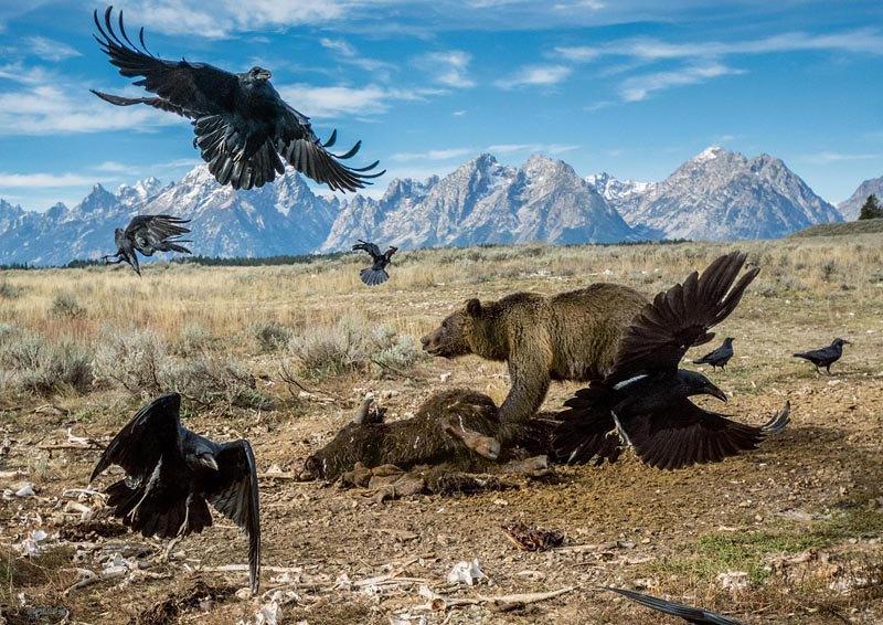 Гризли отгоняют воронов от туши бизона в национальном парк Гранд-Титон, США.