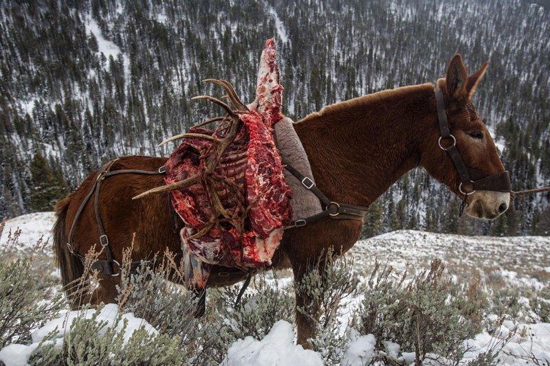 Мул везет освежеванного лося после охоты в Национальном парке Гранд-Титон, США.