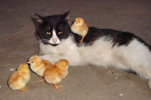 Наталія з Черкас надіслала фото свого кота Масіка-Банди з його підопічними.
