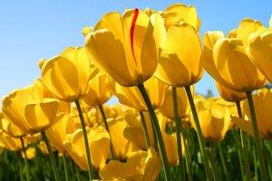 У Кіровограді розквітло майже півмільйона тюльпанів