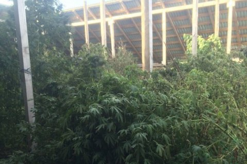 5 тонн марихуаны изъяли унаркоторговцев вКировоградской области