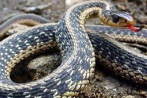 Жительница Днепропетровска поймала змею в пылесос