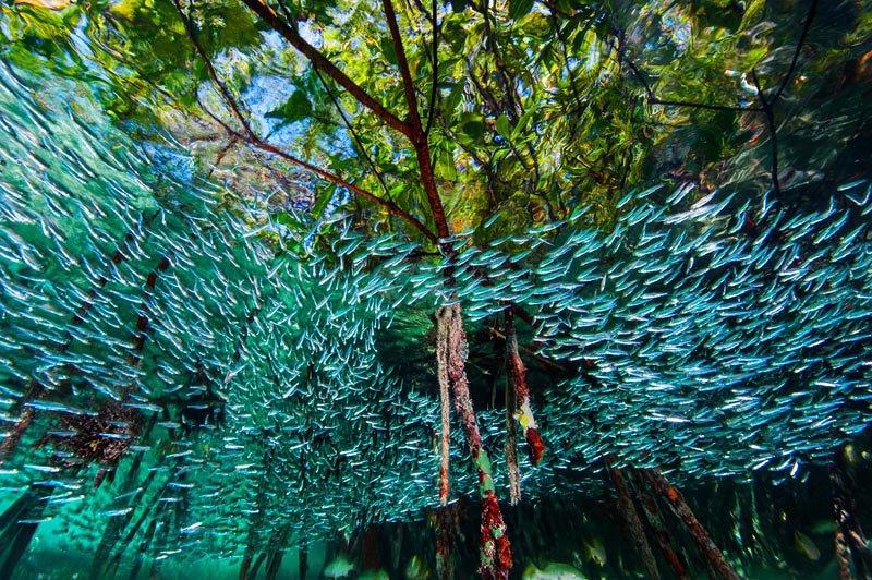 Стая атериновых рыб кружит среди мангровых деревьев в коралловых рифах, Куба. Рыбки небольшого размера организовано маневрируют в стае, чем приводят в замешательство хищников.