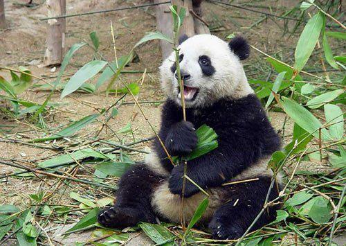 Wallpapers - Panda Bears Pack.
