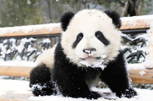 Исследователям из Центра разведения панд в Китае пришлось пойти на...
