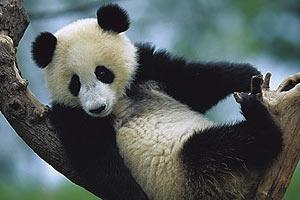 Пятничная панда #39
