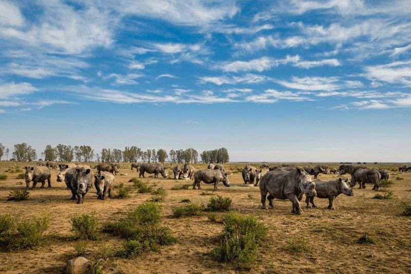 Носорогам на этом южноафриканском ранчо недавно урезали рога. В отличии от слоновой кости, рог носорога отрастает.