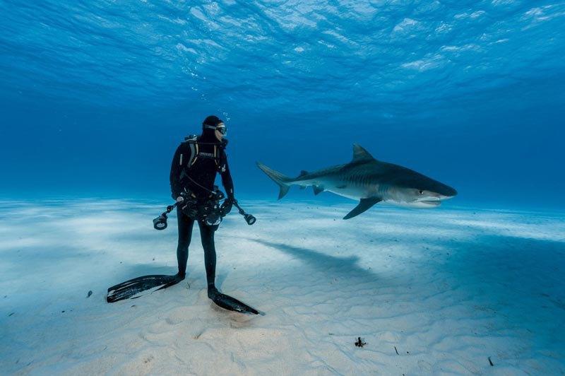 Встреча дайвера и тигровой акулы, Багамские острова.