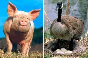 Для евреев вывели кошерных гусей со вкусом свинины