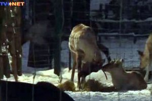 Главный олень Риги остался без работы