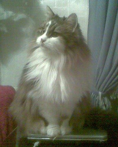 Фото кошки Карины от Натальи