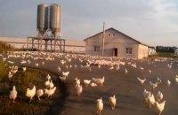 Тисячі курей розбіглися в Луганській області після обстрілу птахофабрики