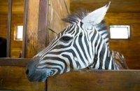 З харківського зоопарку втекла зебра