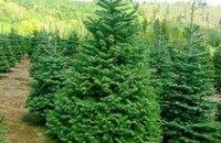 Украинцы активно  раскупают живые елки