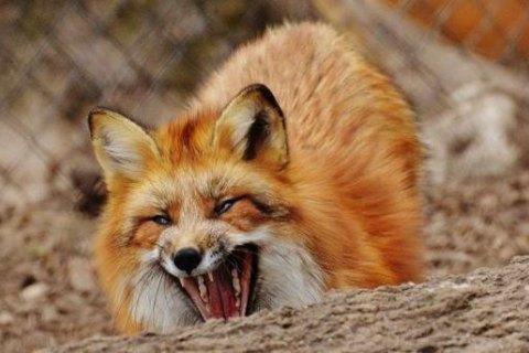 У трьох районах Запорізької області оголосили карантин через спалах сказу серед лисиць