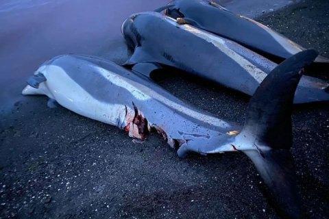 На Фарерских островах убили почти 1,5 тыс. дельфинов за один день