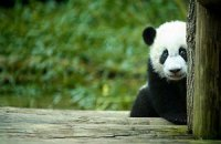 Пятничная панда #63