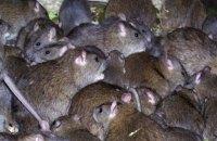 Після недавніх повеней Парижу загрожує нашестя щурів