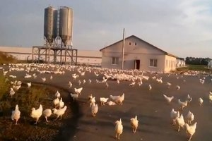 Тысячи кур разбежались после обстрела птицефабрики в Луганской области