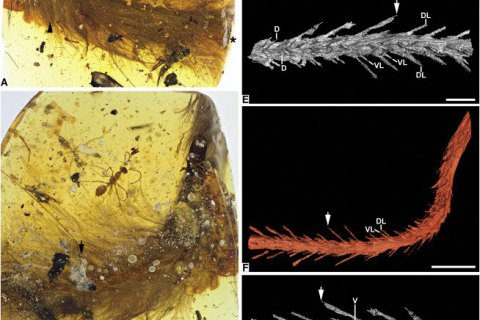 Ученые нашли в куске янтаря хвост миниатюрного динозавра с перьями и кожей