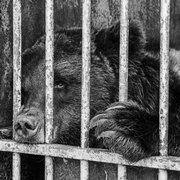 Медведи из клетки
