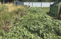В Николаевской области нашли плантацию конопли стоимостью 12 млн гривен