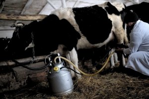 Міліціонерам доводиться рятувати заготівельників молока від селян