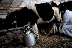 Милиционерам приходится спасать заготовителей молока от крестьян