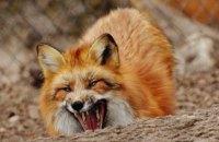 В трех районах Запорожской области объявили карантин из-за вспышки бешенства среди лисиц