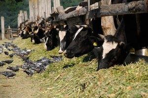 Из-за приезда Януковича ровенскому скоту запретили пастись