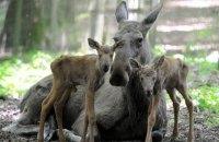 Мінекології вимагатиме повернути заборону полювання на лося