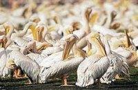 В Украине уничтожили единственную в стране колонию кудрявых пеликанов