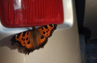 Київ заполонили метелики