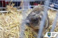 Цього року львівські бабаки не прогнозуватимуть весну на Стрітення, бо вони ще сплять