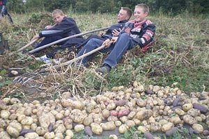 В Україні очікується падіння врожаю картоплі