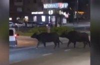 У Тернополі із зоопарку втекли два буйволи та поні і гуляли нічним містом