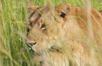 Западноафриканские львы включены в список исчезающих видов