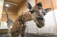 В одесском биопарке впервые родился жираф Ротшильда